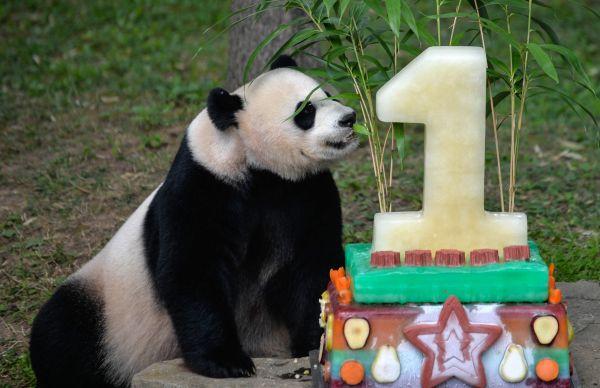美国政府停摆熊猫直播也停了 美熊猫爱好者炸了锅……