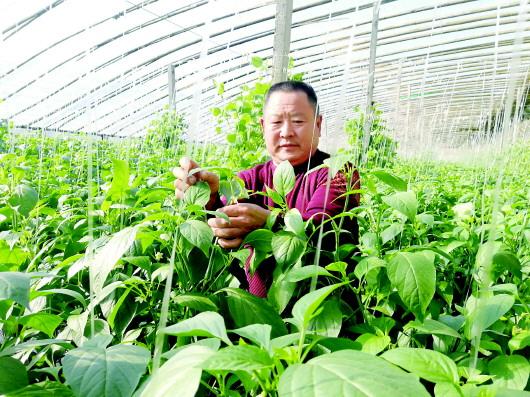 重访寿光灾区:老赵新种的辣椒已卖了三茬