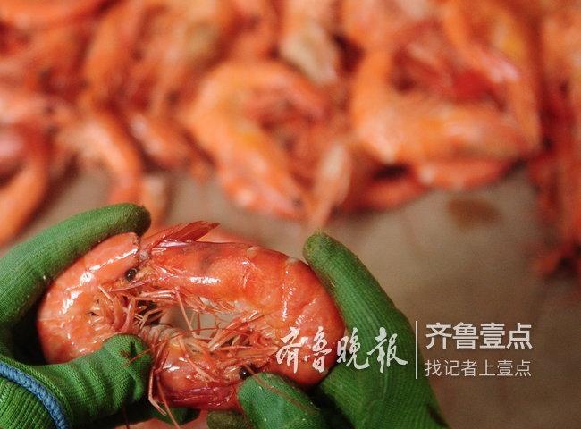 滨州父子俩,一年能卖二三十万斤虾