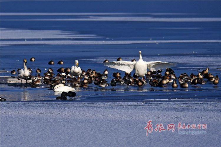 候鸟天堂 实拍胶州湿地天鹅、绿嘴鸭翩翩起舞(图)