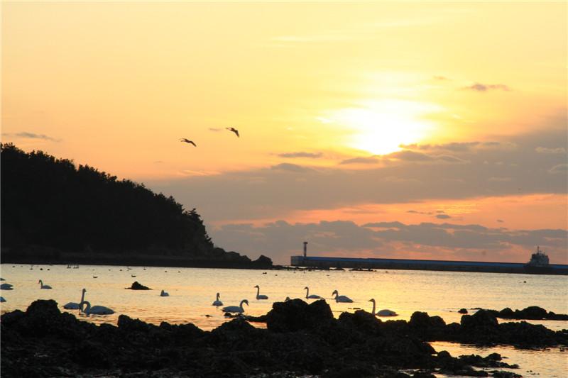 1、荣成现成为我国北方最大的大天鹅冬季栖息地,每年来此迁徙的天鹅达上万只。2019年1月初,我们来此拍摄