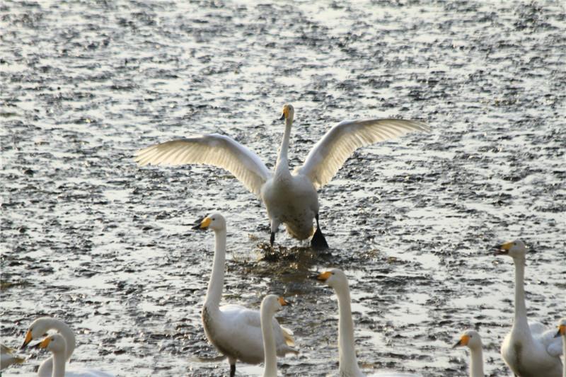 4、大天鹅的主要食物是海草和湿地植物的叶子、根茎,有时食物不足便去附近麦田啃吃麦苗