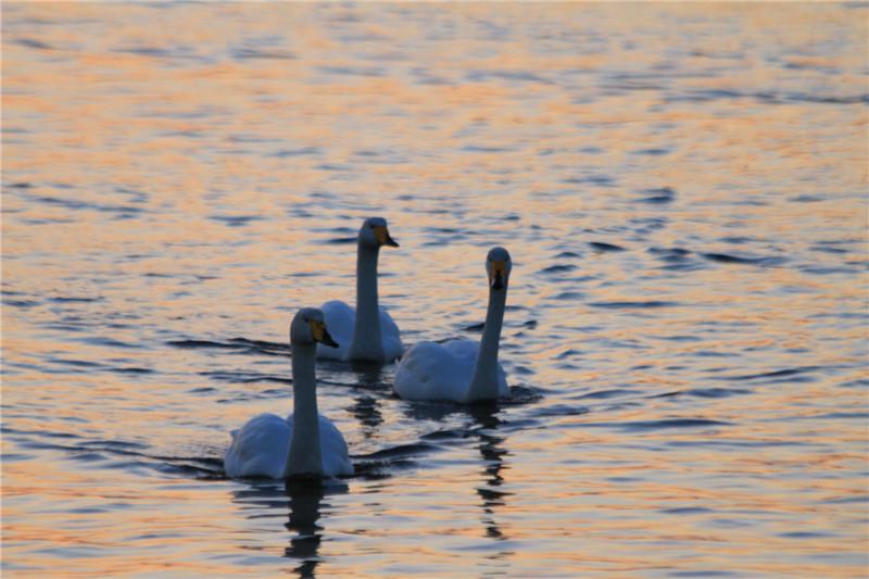 28、边看着美丽优雅的天鹅,边戴着耳麦聆听一首天鹅湖舞曲---满满的惬意