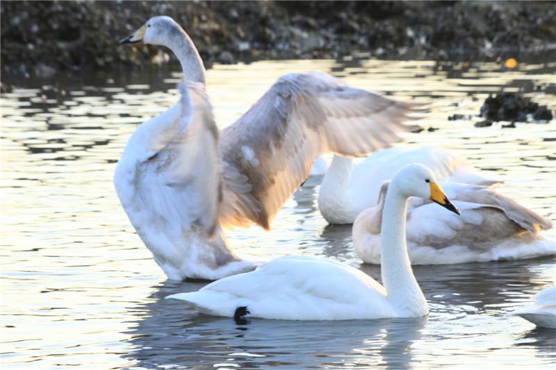 32、成年天鹅羽毛是洁白的,而灰中带白的则是一、二年的幼鹅