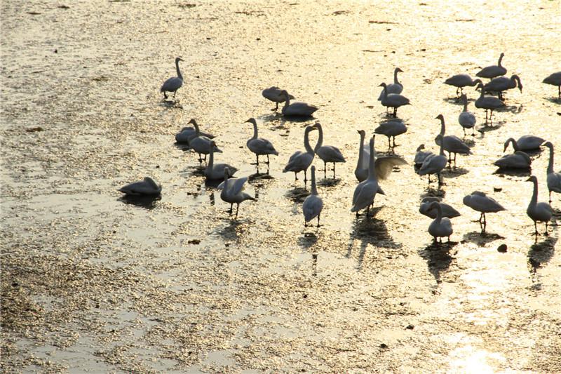 61、滩涂上的天鹅
