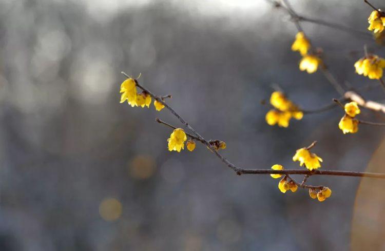 组图|香气满枝头,静等春风来,济南蜡梅花已开,是时候赏蜡梅了!