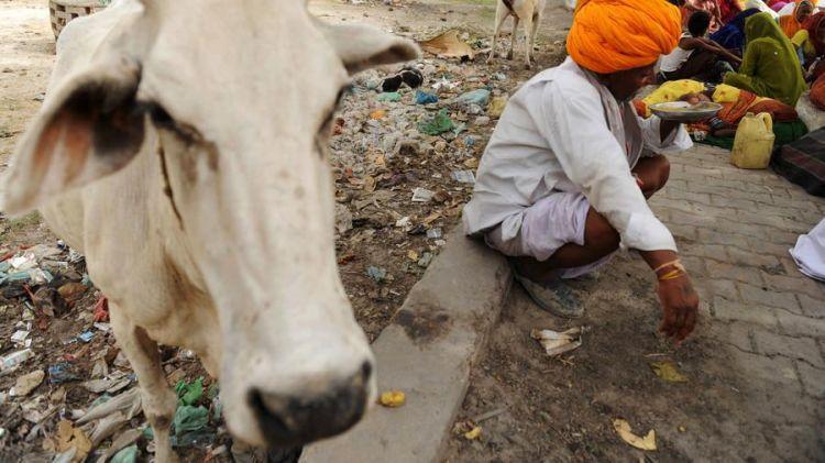 """印度拟建""""新型""""养老院:奶牛和老人一起生活 共度晚年"""