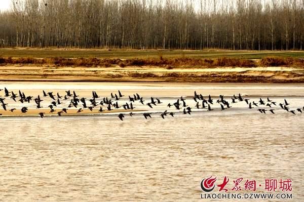 东阿黄河滩区成群候鸟越冬 场景唯美壮观!