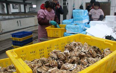 """""""中国牡蛎之乡""""乳山年产牡蛎30万吨"""