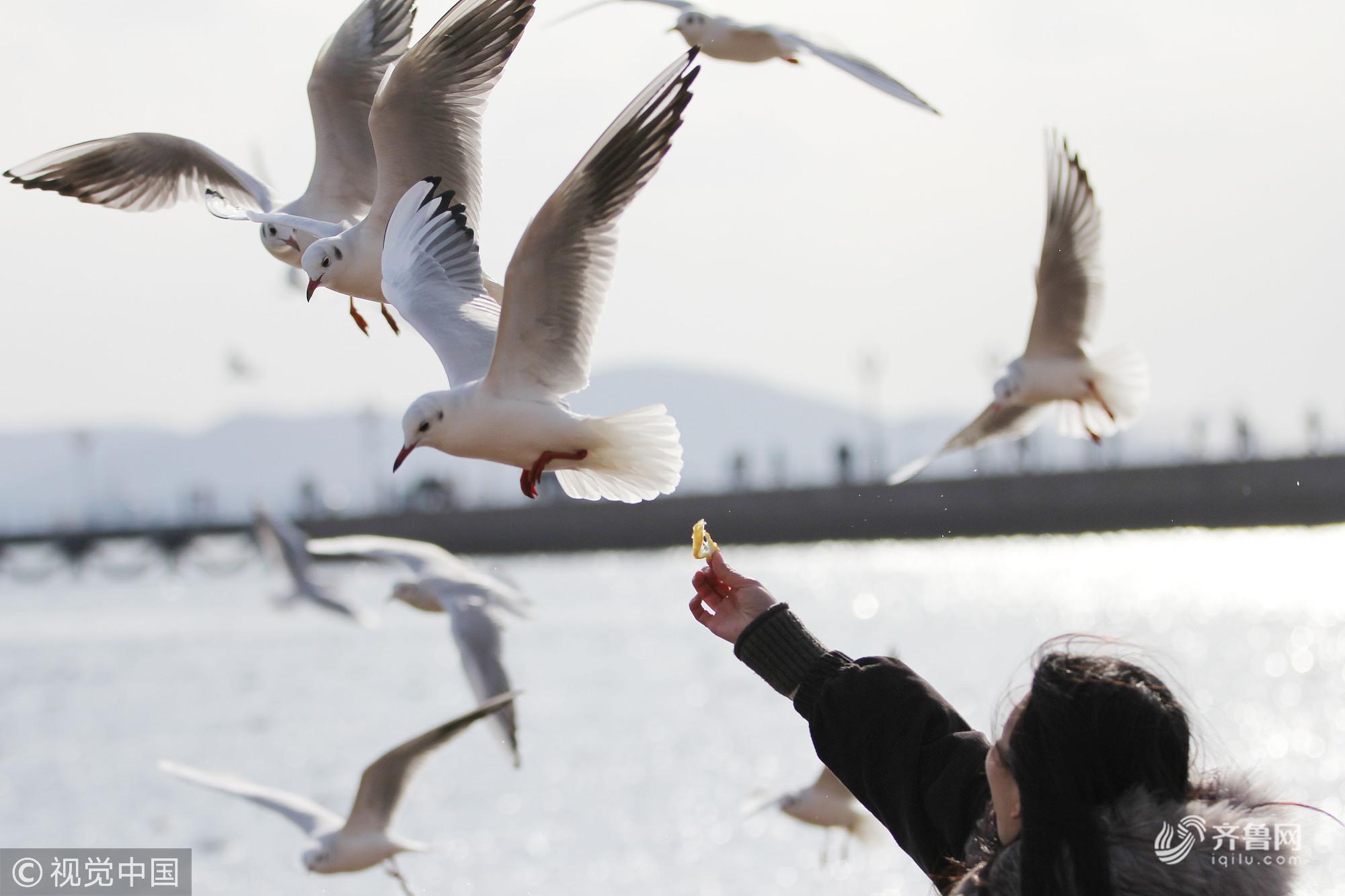 人鸥共欢!青岛:寒冬鸥舞栈桥