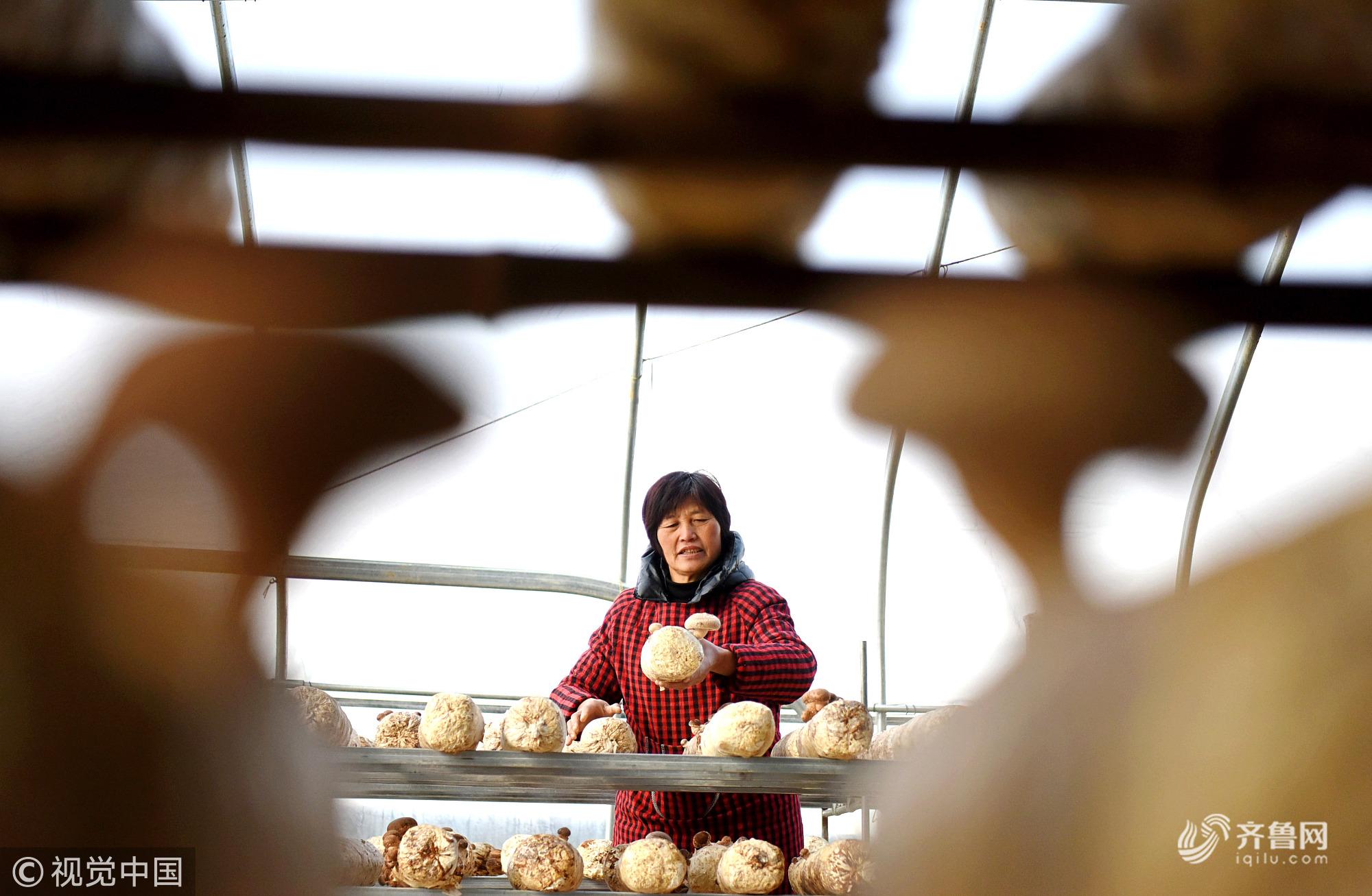 山东淄博:探访沂源香菇种植基地 香菇产业带动农民增收