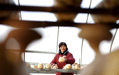 探访淄博沂源香菇种植基地 香菇带动农民增收