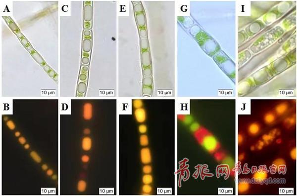 微藻能提炼生物柴油?青岛能源所发布重要研究成果