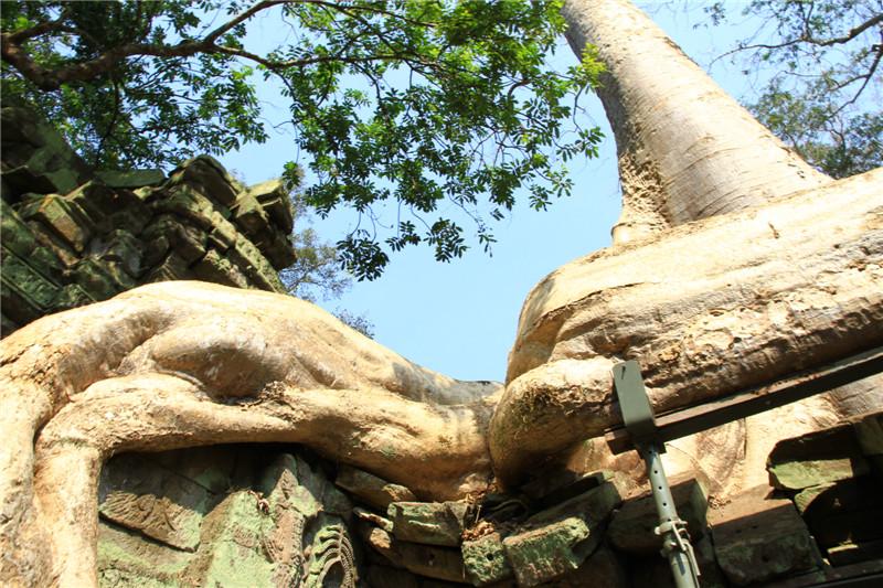 """44、塔普伦寺又称为""""树根盘踞的神殿"""""""