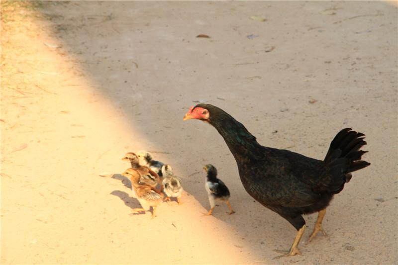 84、鸡妈妈与它的宝宝们。可能是气候炎热的原因,该国人胖子极少,甚至牲畜家禽都是瘦瘦的