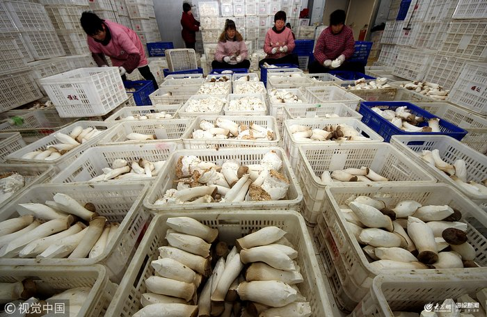 枣庄:工厂化生产杏鲍菇 远销北京上海(图)
