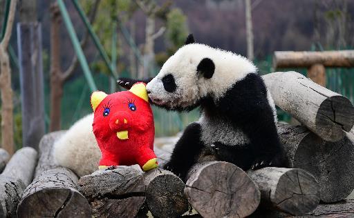 最强晒娃 11只大熊猫萌新集体拜年