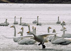 天鹅湖大面积结冰 荣成大天鹅冰面起舞