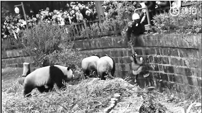 女童掉入熊猫活动区获救 身体无大碍熊猫也未受惊吓