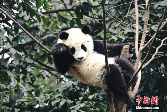 第5次受孕失败 旅澳大熊猫福妮和网网将回中国