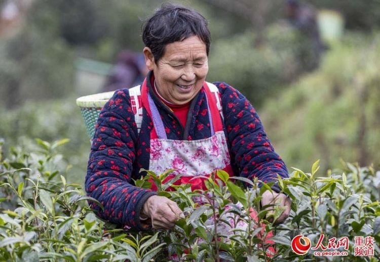 重庆南川:早春采茶忙