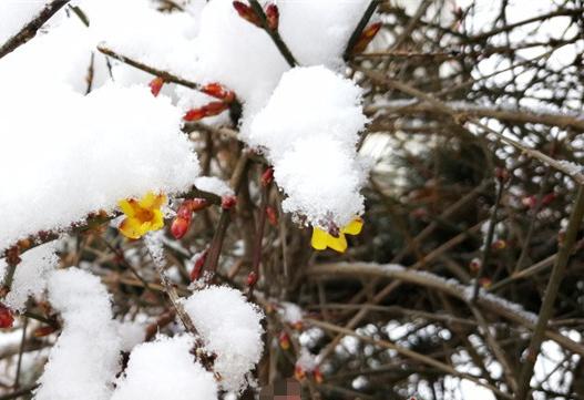 实拍青岛雪后美景 青松苍劲腊梅正好