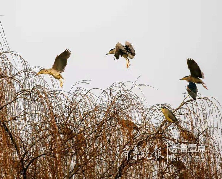 惊起一片夜鹭!大明湖的夜鹭归巢