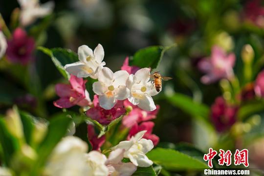 消失近40年,世界上体型最大蜜蜂在印尼岛屿现身
