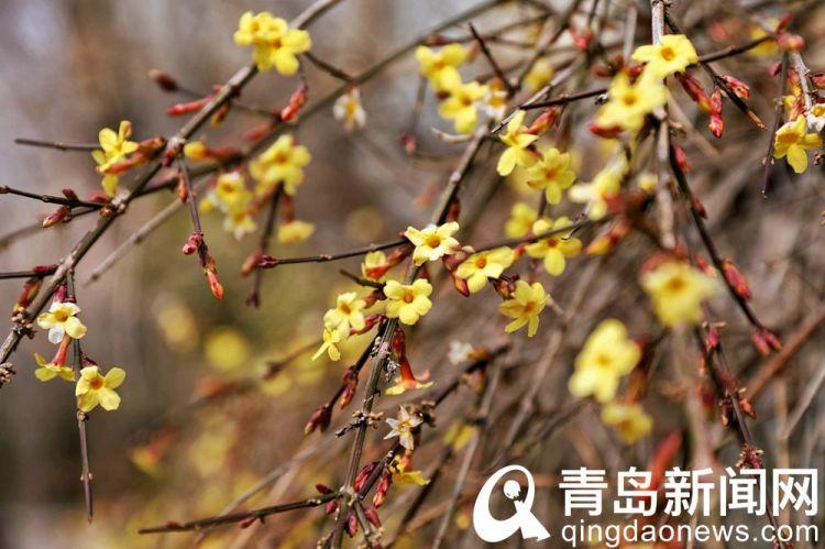 高清:花情探营 又见那一抹嫩黄 迎春花悄悄地开了
