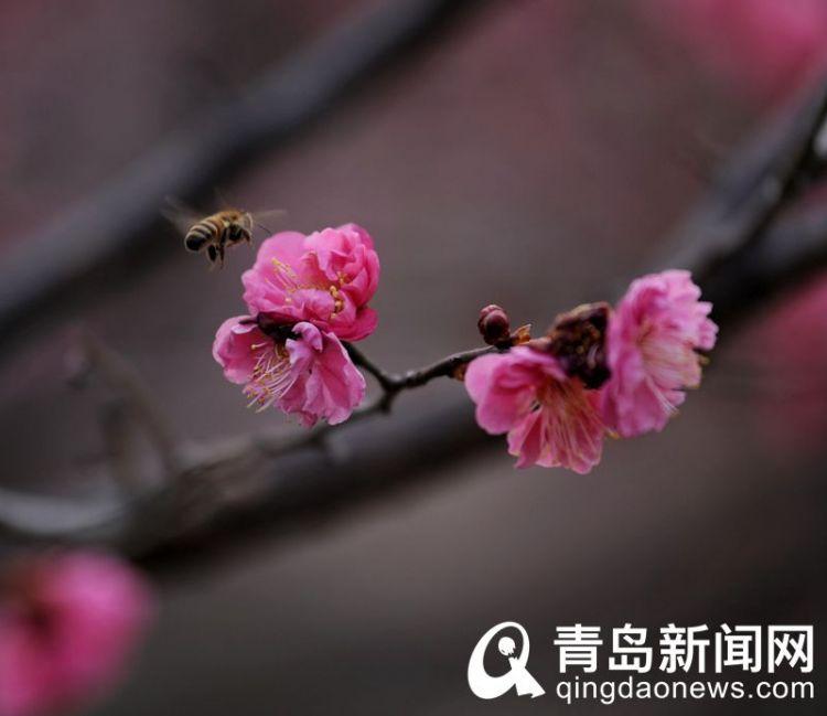 高清:花情探营 红梅盛开 那树那花那清香是独特的美