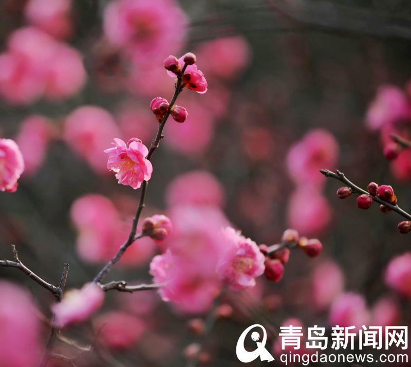 红梅早春先叶开花。