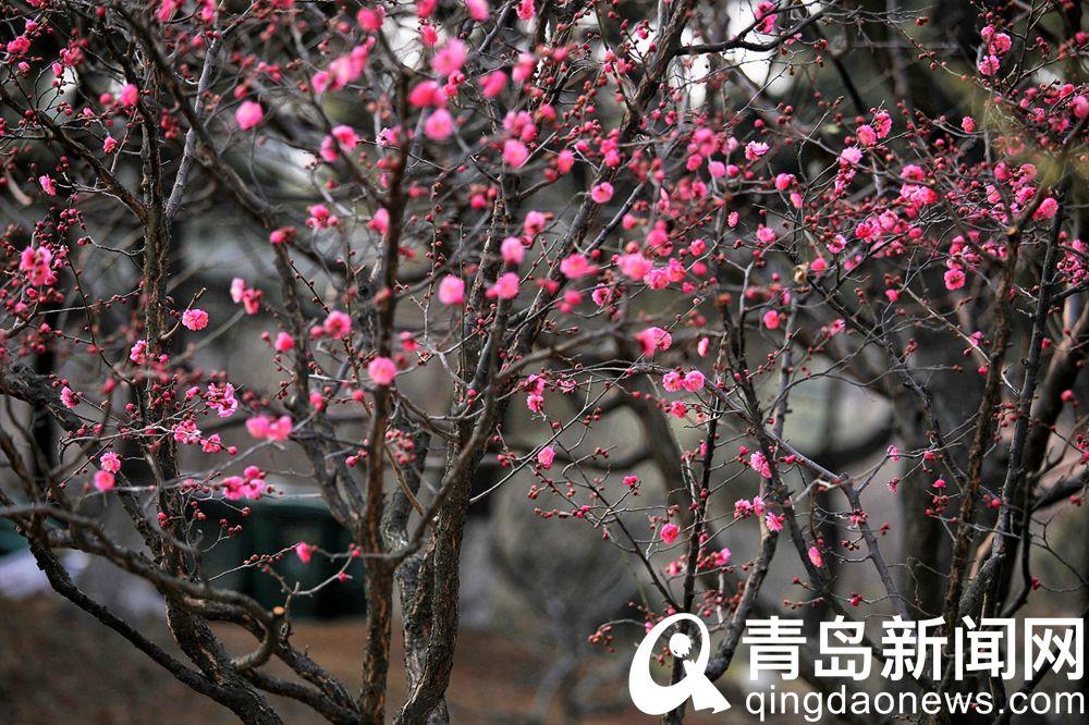 红梅可丛植也可群植。