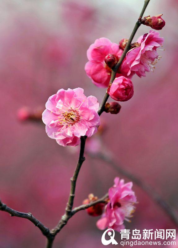 红梅花呈淡粉红或红色。