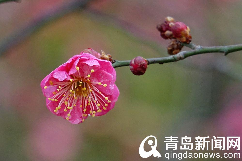 红梅有冰清玉洁之美,为历代文人吟咏描绘的对象。