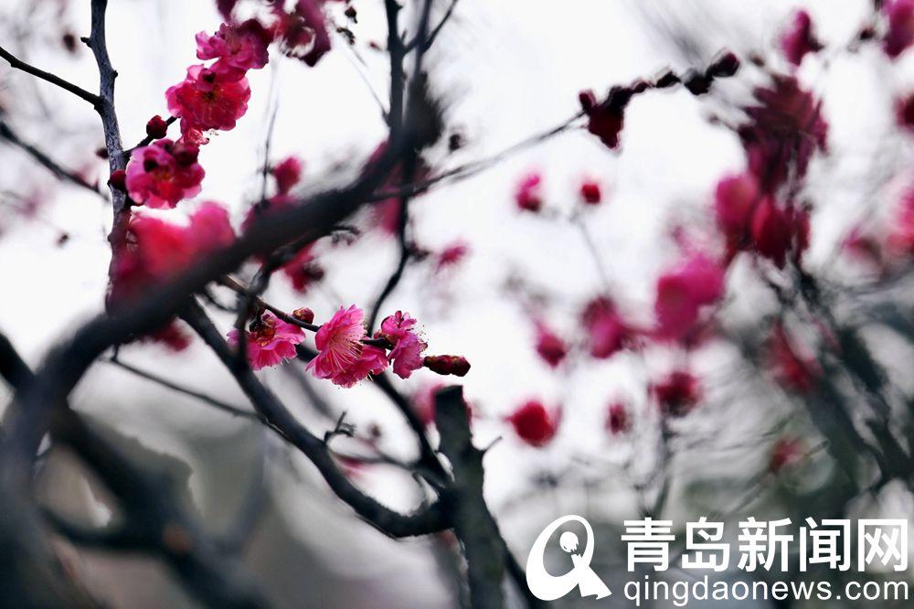 红梅干呈褐紫色,多纵驳纹,小枝呈绿色。