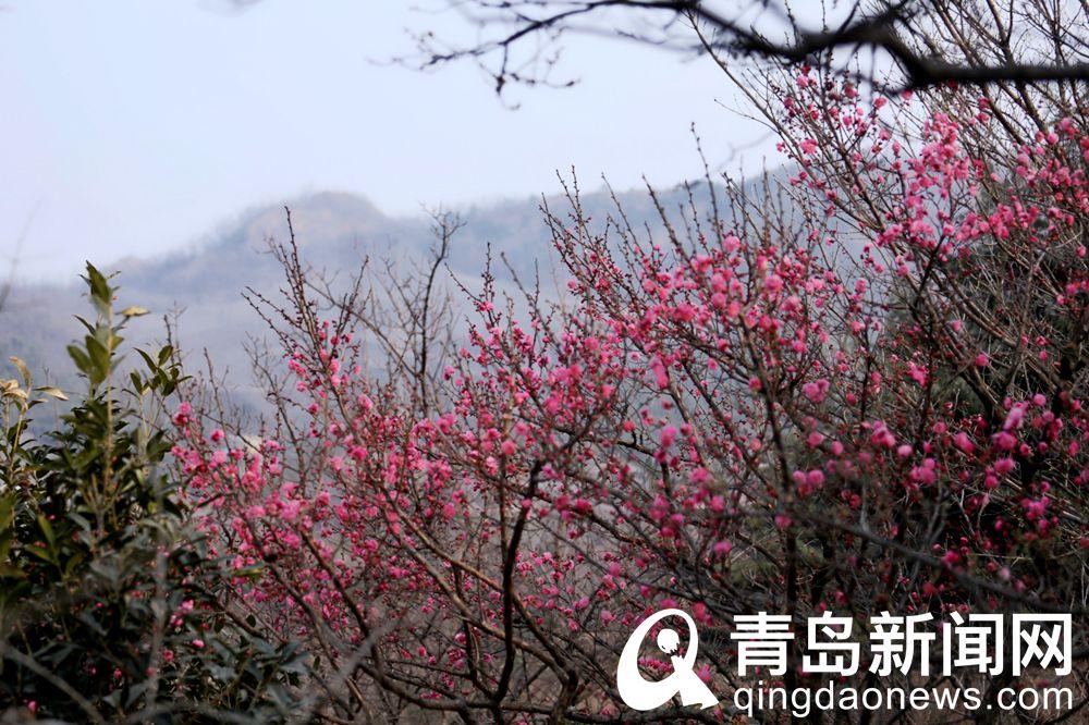 十梅庵景区红梅群花盛放。