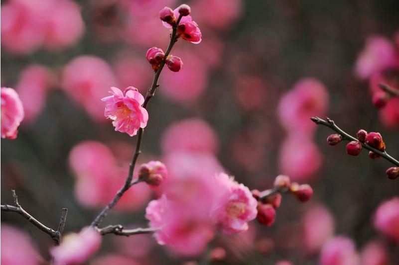 高清:花情探营 红梅怒放 那树那花那幽香是奇特的美