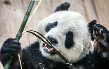"""大熊猫""""华奥""""亮相济南 憨态可掬""""表情包""""层出"""