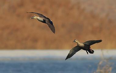 山东青岛:初春水暖 春鸭戏水入画来