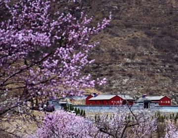 青州上稍村笔架山成片桃花如霞似锦 已成潍坊网红风景