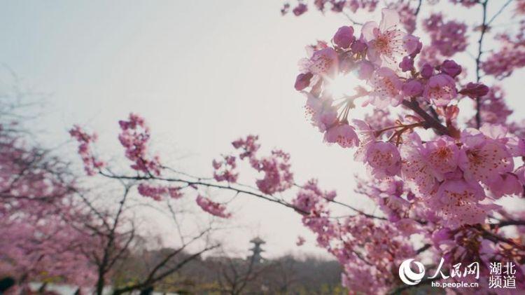 """武汉进入""""赏樱季"""" 晋级版赏樱圣地等你打卡"""