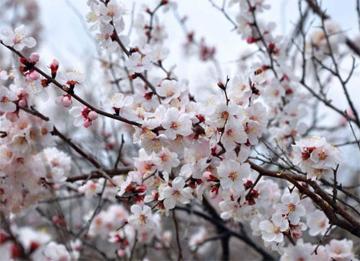 嘉祥杏花节3月17日开幕 赏花市民不要错过