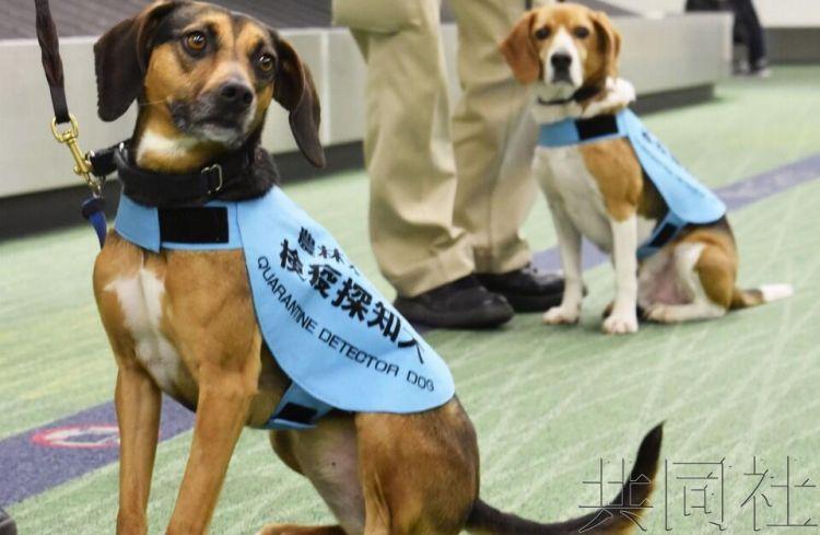 日本加强防非洲猪瘟措施 检疫犬辨别肉制品大显身手