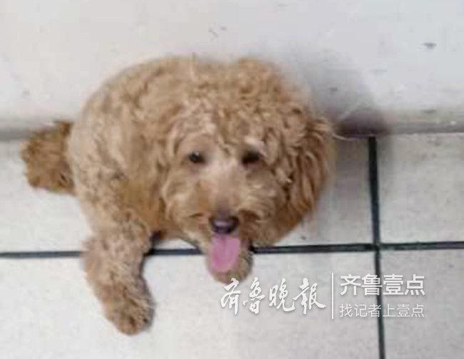 济南保安帮走丢宠物狗找家,在微信群发布寻主启示