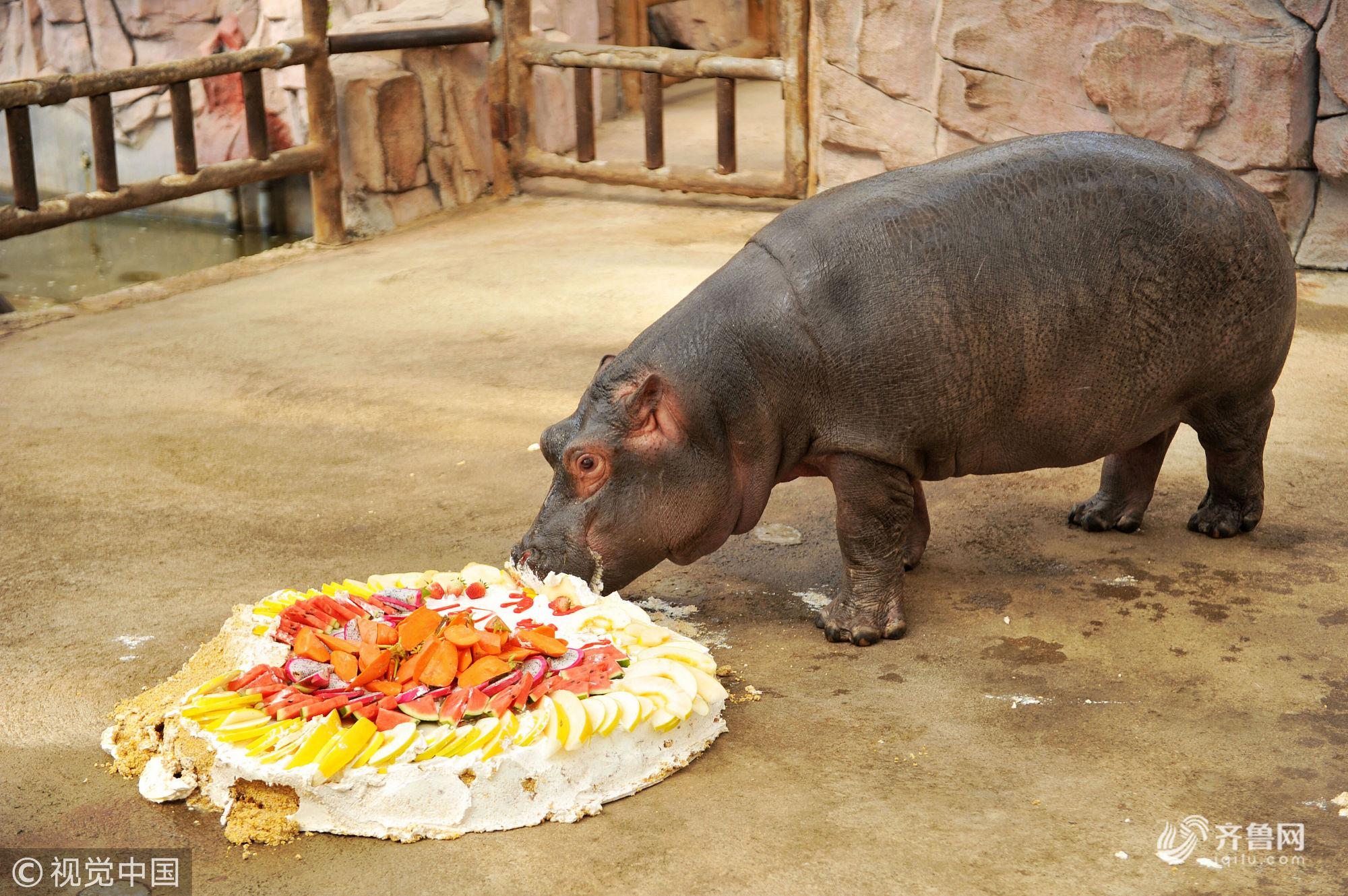 山东青岛:小河马迎来周岁生日 小朋友们制作生日蛋糕庆生
