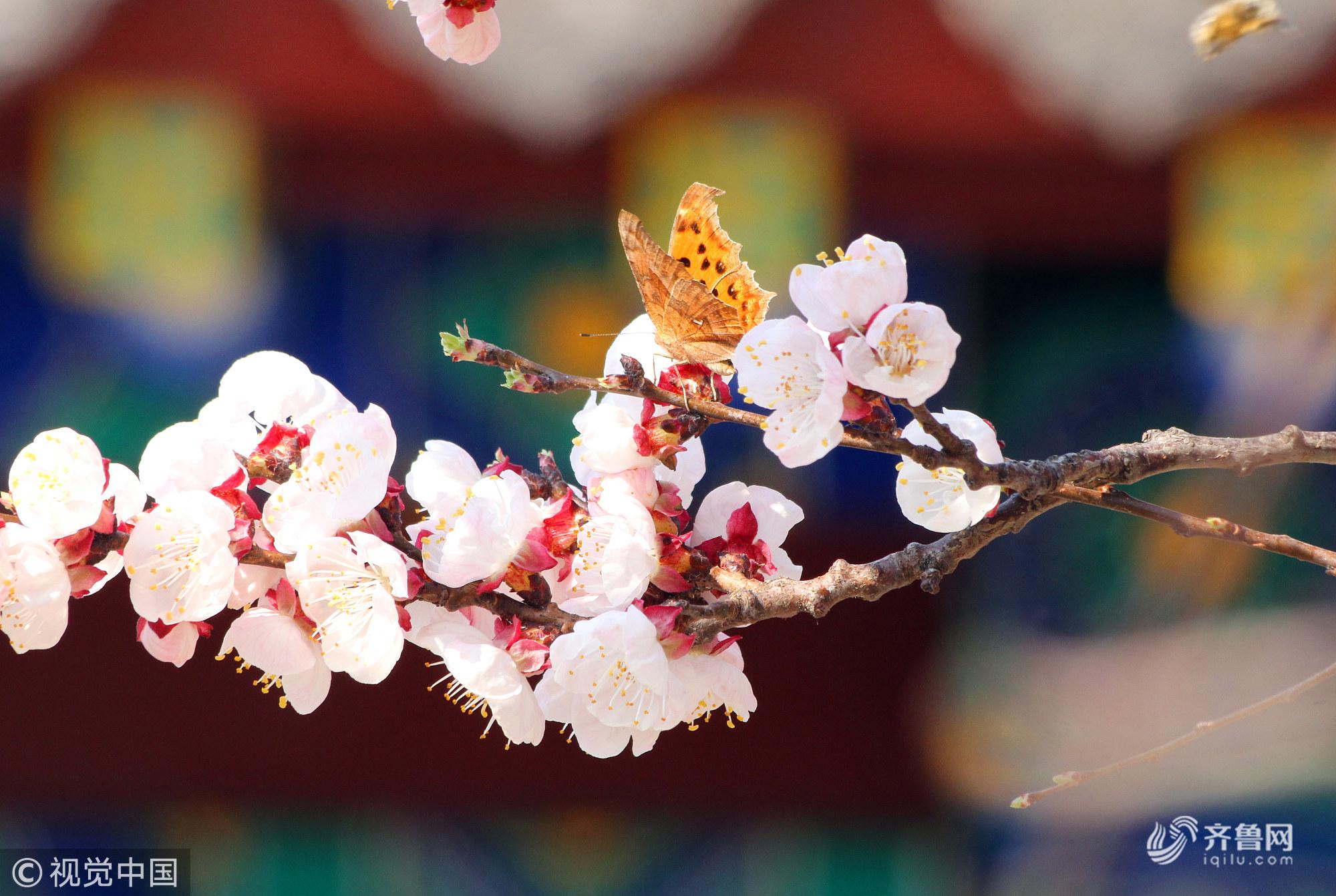 山东济宁:千年孟府花正艳 吸引不少游客前来踏春赏花