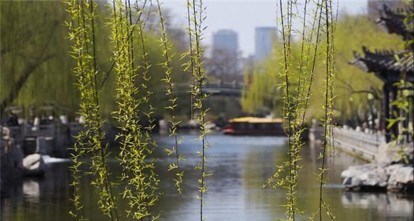 美!济南护城河边垂柳飞翔如发丝