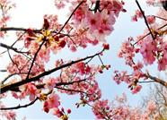 武大樱花预计月底全面绽放 游客需网上预约