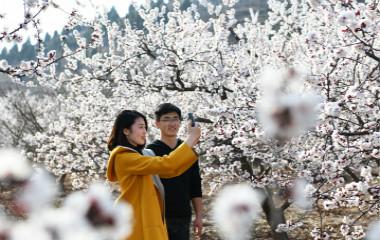 枣庄千亩山杏花竞相开放 吸引游客前来观花赏景