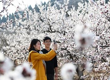 枣庄千亩山杏花竞相开放 吸引浩繁游客前来观花赏景